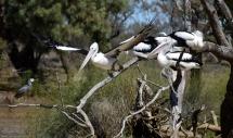 Oma Waterhole-pelicans