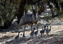 Isisford-Mr Emu & his chicks