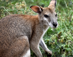 Ravenswood-tame wallaby