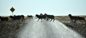 Hundreds of sheep crossing road to Longreach