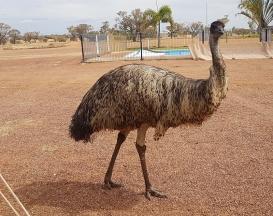 Yaraka-Kevin the Emu