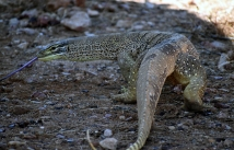 Yaraka Sand Monitor wandered thru park