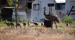 Yaraka Mr Emu & his 9 chicks